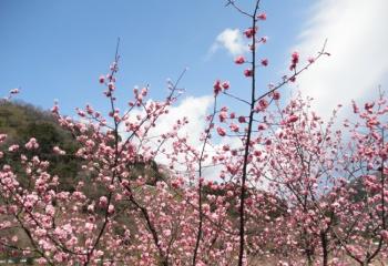 松川湖の梅林