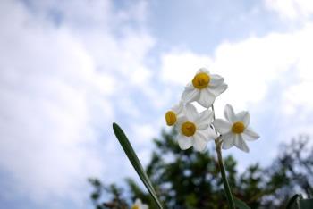 可憐に咲くスイセンの花