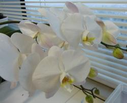 今年咲いた胡蝶蘭